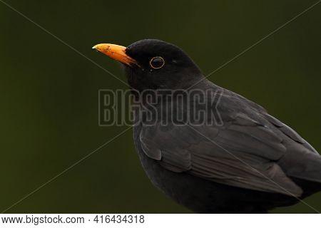 The Common Blackbird (turdus Merula) Male Portrait. The Common Blackbird Sitiing On The Old Branche.
