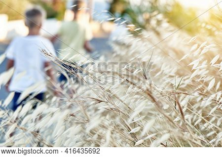 Wild Oats Plant. Avena Fatua, Known As The Common Wild Oat - Grass In The Oat Genus. Close-up