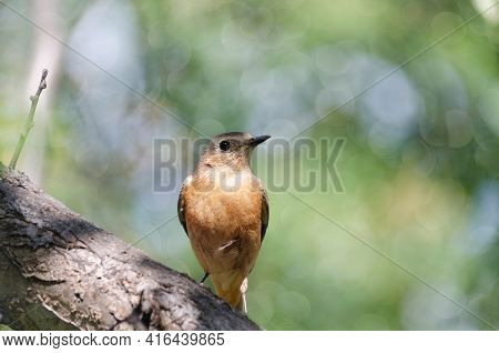 Common Red-tailed Bird Sits On A Branch In Close-up. Unfocused Summer Bokeh Background. Shallow Dept
