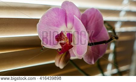 Pink Orchid Flower On The Windowsill On The Background Of The Blinds, Close-up. Close-up Of A Bloomi