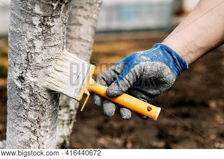 Whitewash Of Spring Trees, Protection From Insects And Pests.whitewashing Of Trees In The Spring. Ga