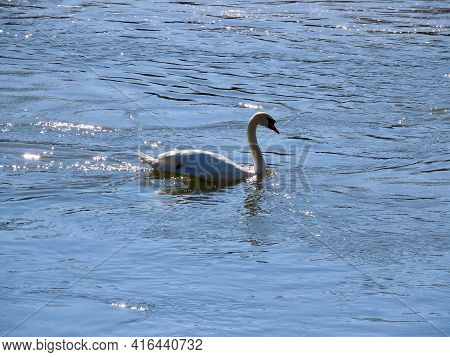 White Swan Swimming In Moselle River, Water Sparkling In Spring Sunshine