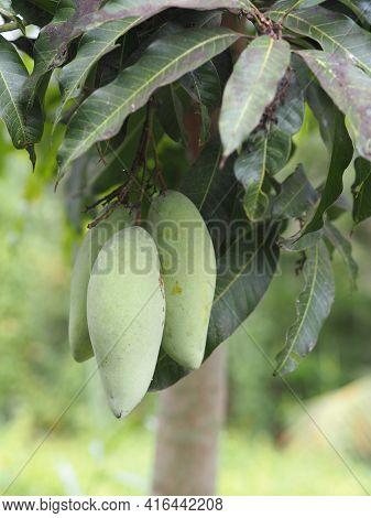 Barracuda Mango Green Fruit Is Sour Scientific Name Mangifera Indica L. Var., Light On Tree In Garde