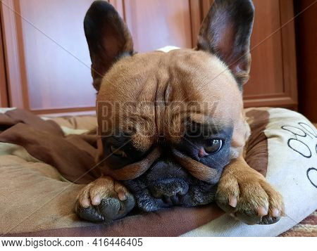 Portrait Of An Adorable Fawn French Bulldog. The Dog Rests In Its Place After Playing. A Typical Pos