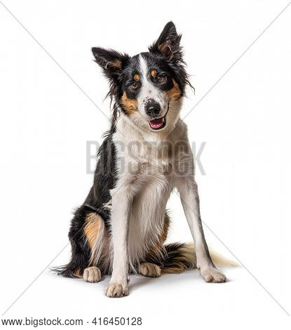Panting, border collie sitting, isolated on white