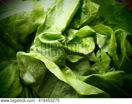 Lettuce. An Annual Herb Of The Genus Lettuce Of The Asteraceae Family. Delicious Fortified Leaves. G