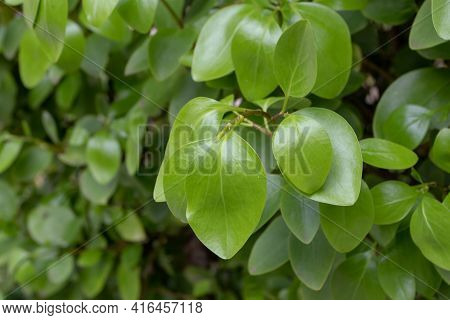 Griselinia Littoralis Or Kapuka Or New Zealand Broadleaf Branch With Apical Ovate Leaves.