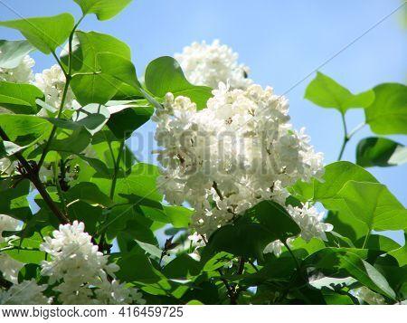 Blossoming Common Syringa Vulgaris Lilacs Bush White Cultivar. Springtime Landscape With Bunch Of Te