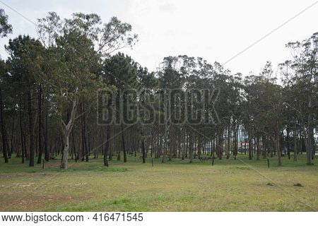 Beautiful Forest With Eucaliptus And Pine Trees At Rodiles Recreation Area, Asturias, Spain