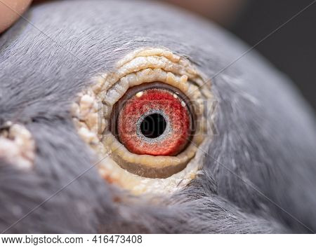 Unique, Gorgeous And Colorful Pigeon Eye. Wild Pigeon. Pink Eye.