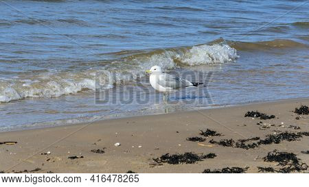 One Seagull Stands On The Water. Side View.