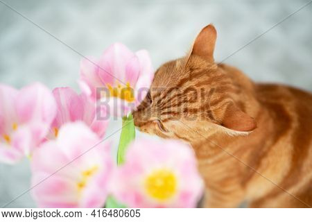 Young red tabby cat sniffs tulip spring flowers at home