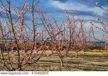 Peach Blossom In Cieza La Torre. Photography Of A Blossoming Of Peach Trees In Cieza In The Murcia R