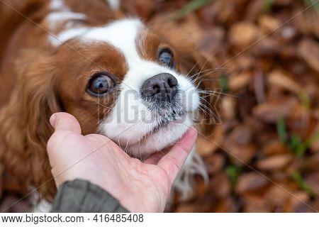 Dog Cavalier King Charles Spaniel Shot During A Walk