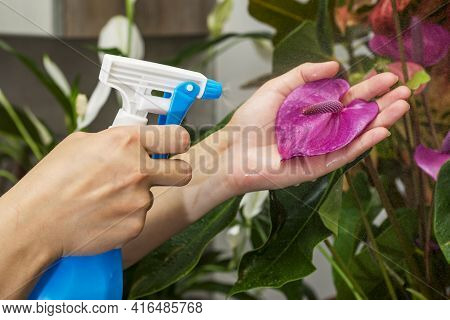 Woman Sprays Plants In Flower Pots. Housewife Taking Care Of Home Plants At Her Home. Plant Care Con
