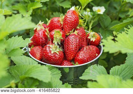 Bucket Of Freshly Picked Strawberries In Summer Garden. Strawberry Berries In A Bucket On A Strawber