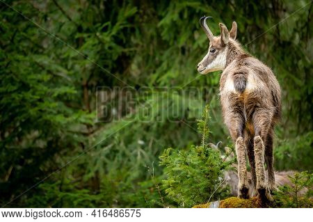 One Chamois In Forest. Rupicapra Rupicapra In Natural Environment In Switzerland. Beauty In Nature.