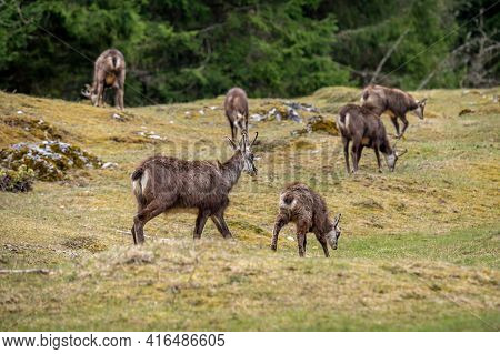 Group Of Chamois And Offspring. Rupicapra Rupicapra In Natural Environment In Switzerland. Beauty In