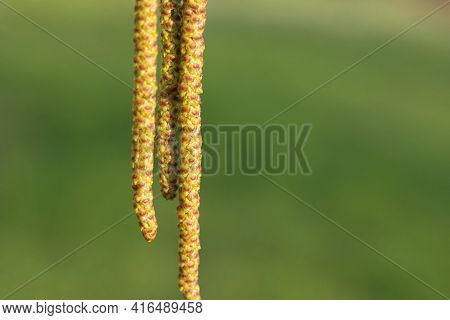 Long Yellow Birch Buds Bloom In Spring. Blooming Birch Inflorescences On A Sunny Spring Day. Close-u