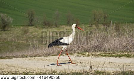 A Young Stork Flying Near The Lake In The Wild Nature. Birdwatching During The First Days Of The Spr