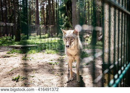 One Grey Wolf Behind Fence - Captive Animal. Summertime Vizit To The Zoo. Wildlife.