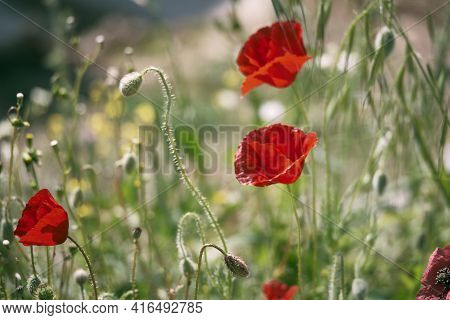 Red Common Poppy Flower Opposite Blurred Floral Background. Close-up Of Red Poppies Inflorescences A