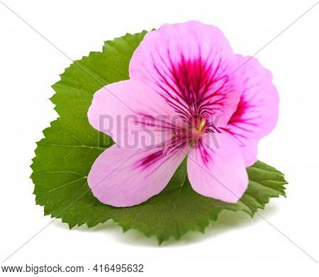 Geranium Flower With  Leaf Isolated On White Background