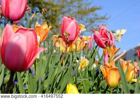 Beautiful Orange And Pink Tulips Blooming Against A Blue Sky In France