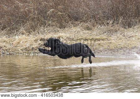 A Black Labrador Retriever Leaps Into The Water In Hauser Lake, Idaho.