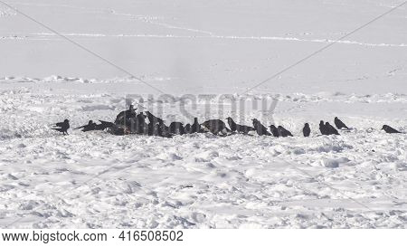 Ravens And A Bald Eagle Scavenge On A Carcass At Yellowstone