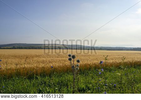 Yellow Field Of Ripe Wheat In The Rays Of The Rising Sun. Ripe Wheat Crop. Agriculture.