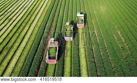 Parsley Plant. Three Agriculture Machinery Harvesting Herbs In A Green Agricultural Field. Combine H
