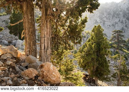 Lebanese Cedar trees at the slopes of Tahtali mountain at Lycian way trekking way in Turkey