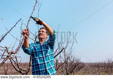 Elderly Farmer Pruning Tree In Orchard With Secateurs. Senior Man Working In His Orchard. Agricultur
