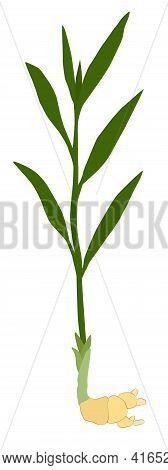 Botany, Decoration, Design, Element, Flora, Food, Fragrance, Fresh, Freshness, Garden, Ginger, Graph