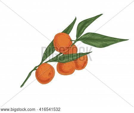 Tree Branch Of Tangerines With Leaves. Ripe Fruits Of Orange Mandarins. Fresh Ripened Clementines On