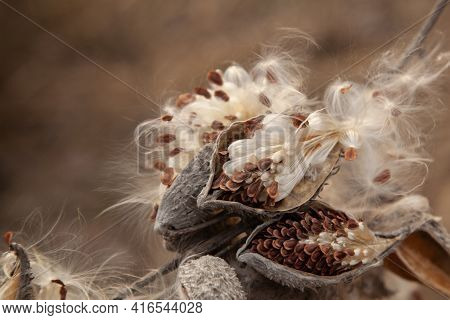 Branch With Seeds Of Dry Asclepias Species. Produce Some Of The Most Complex Flowers Among Plants, V
