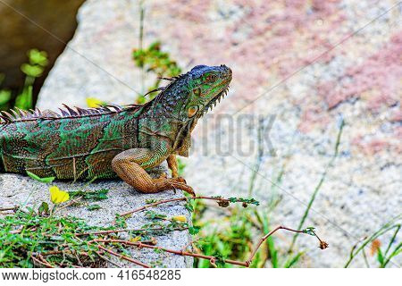 Green Iguana, Also Known As The American Iguana, Lizard Of The Genus Iguana. It Is Native To Central