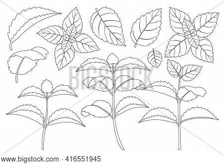 Mint Leaf Outline Vector Set Illustration Of Icon.fresh Peppermint Vector Set Of Icon.set Illustrati