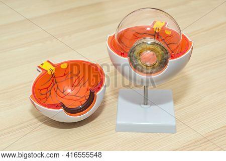 Enlarged Anatomical Eye Model. Eye Anatomy, Human Eye Cross Section Physiology, Cornea Model From Pl