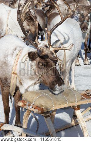 Sleeping Reindeer In Harness, Near A Wooden Sleigh