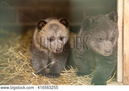 Bear Behind Bars. Wild Bear In The Aviary. Big Beast In The Zoo. Containment Of The Beast In Captivi