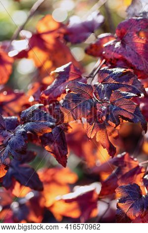 Vertical Background From Bright Autumn Leaves. Dark Red Leaves Of Physocarpus Opulifolius In The Gar