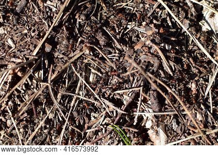 Forest Ants Close-up In A Heap Of Anthill In Disorderly Motion