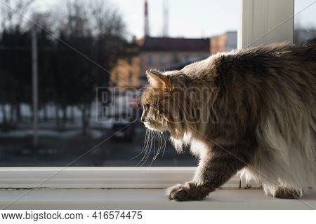Fluffy, Fat Cat Walking Along The Windowsill On The Balcony. Gray Cat Of The Siberian Breed Creeping