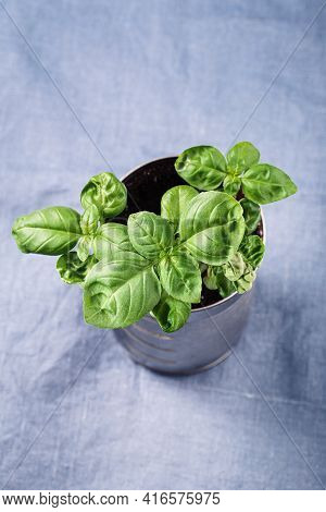 Home Grown Fresh Basil In Pot, Selective Focus