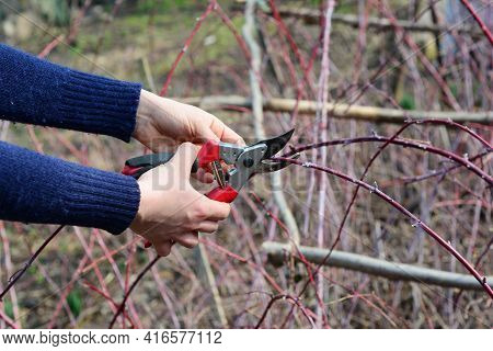 Pruning Cumberland Black Raspberry, Rubus Occidentalis, Blackberry Plants By Cutting Dead And Damage