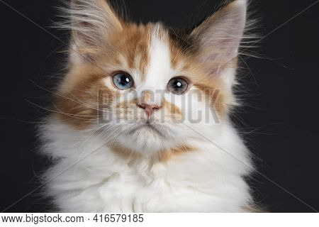 Close Up Head Shot From Beautiful Marked Odd Eyed Maine Coon Cat Kitten. Showing Heterochromia. Isol