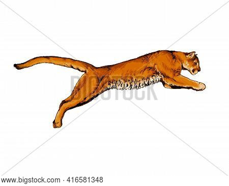 Puma, Cougar From A Splash Of Watercolor, Colored Drawing, Realistic. Vector Illustration Of Paints