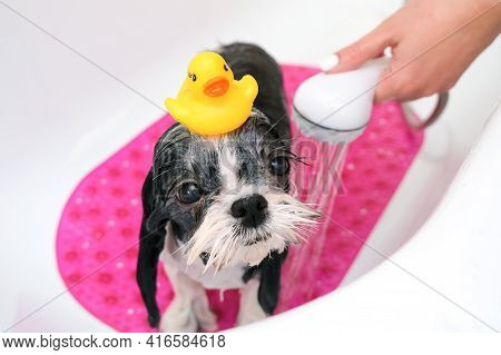 Dog In Grooming Salon; Dog Get Shower; Domestic Animal Get Beauty Procedures In Beauty Salon For Dog